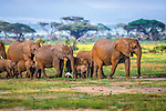 African bush elephants (Loxodonta africana), Amboseli National Park, Kenya<br />