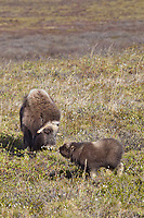 A newly born muskox calf feeds on the tundra vegetation near its mother, on Alaska's Arctic North Slope.