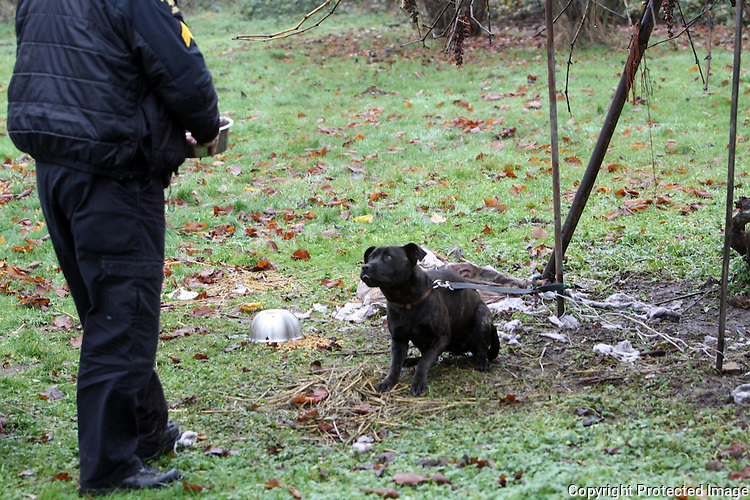 """King County Animal Care and Control officer Sgt. David Morris brings water to a tethered dog in Kent, Wash. on December 10, 2008. Owner Kenneth Walton, age 16 is learning his father's business of training attack dogs and guard dogs.  His father Dwayne Walton Sr. says he's raised and trained dogs for twenty years and is trying to get a kennel license.  Says Dwayne """"As an American I should be able to train, contain, and do what I see possible as long as I'm not abusing them"""" and stresses that he is not training dog fighting dogs.  """"I believe that if the state brings this law in they're going to be taking away a lot of good training.  For 25 years I've been able train my dogs.  I feel like I should be able to continue and turn my legacy to my kids.""""(Karen Ducey/Seattle Post-Intelligencer)"""