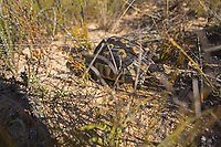 Leopard Tortoise (Stigmochelys pardalis), Rocklands, South Africa<br />