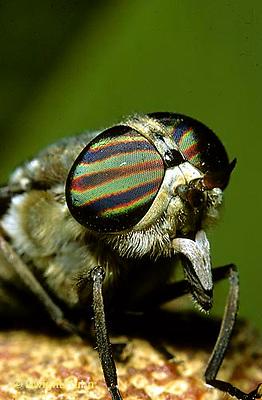 1F02-006b  Horse Fly - adult, compound eyes -  Hybomitra spp.