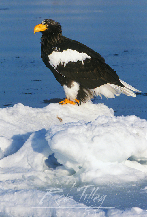 Steller's Sea Eagle (Haliaeetus pelagicus), Raus, Hokkaido, Japan