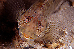 Hairy Blenny female, Labrisomus nuchipinnis