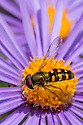 Hoverfly {Eupeodes sp.} feeding on Alpine Aster {Aster alpinus}, Nordtirol, Austrian Alps. July.
