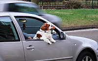 Nederland  Amsterdam   2021.    Hond waait uit in open raam van een geparkeerde auto.     Foto Berlinda van Dam / HH / ANP.