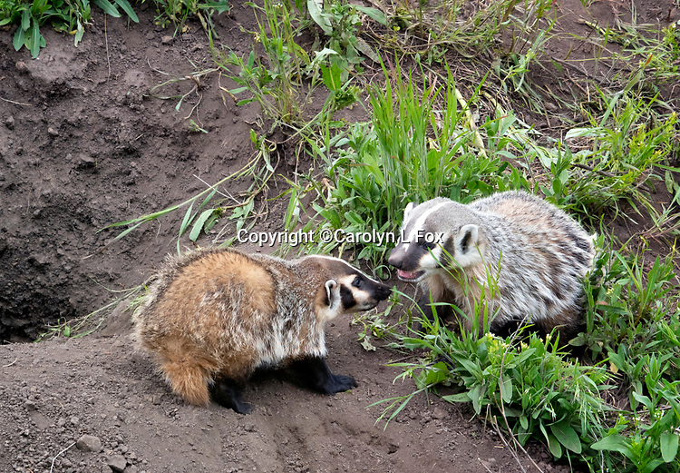 Badger cubs Badger cubs play in Yellowstone.
