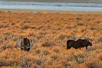 Two Bull Moose feeding out on sage flats near sunset.  Grand Teton National Park, Wyoming.   Snow.  Winter.