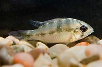 freshwater, dwarf cichlid, Ram, Mikrogeophagus apistogramma, range: South America, Colombia and Venezuela ( c )