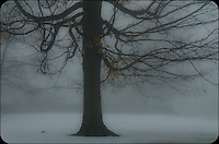 Early winter morning fog give this tree a softer appearance than normal.