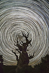Star trails, Ancient Bristlecone Pine Forest, California, USA<br /> <br /> A vertiginous spiral of stars circles over an ancient bristlecone pine, considered the longest continuously living life-form on Earth. These trees are unbelievably hardy, growing in exceedingly dry conditions at altitude. At 11,000 feet the sky is clear, cold, and dark, perfect for night photography.