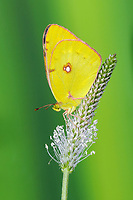 Clouded Yellow (Colias croceus), adult, resting on plantain flowerhead, Oxfordshire, England, United Kingdom, Europe