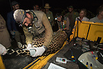 Project Oncafari vet, Joares May takes measurements / samples and tests vital signs and general health of a younf female jaguar trapped after a cow had been killed. Caiman Lodge, Oncafari Project, southern Pantanal, Mato Grosso do Sul, Brazil.