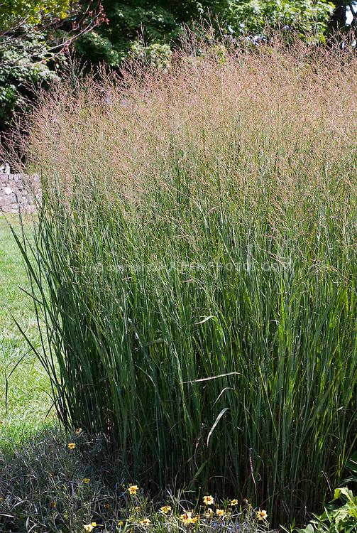 Panicum virgatum 'Heavy Metal' aka 'Heiliger Hain' ornamental grass with Coreopsis 'Autumn Blush' at base