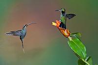 Green-crowned Brilliant (Heliodoxa jacula) female defending flower against Green Hermit hummingbird (Phaethornis guy).  Costa Rica.