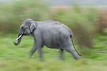 Wild Asian Elephant (Elephas maximus) running. Kaziranga National Park, Assam, India.