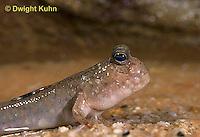 ME04-008e  Mudskipper on mud - Periophthalmus sp.