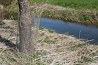 Europäischer Biber, Fraßschutz durch Drahtgeflecht an einem Baumstamm, Biber-Spur, Biberspur, Altwelt-Biber, Castor fiber, Eurasian beaver, European beaver, Castor d´Europe