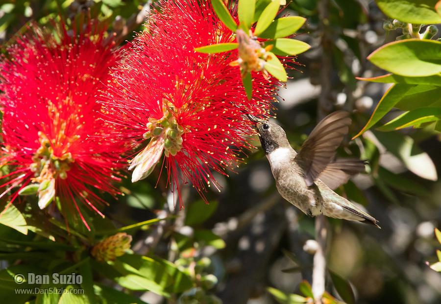 Male Black-chinned Hummingbird, Archilochus alexandri, feeds from a Bottlebrush flower, Callistemon sp., at Sacramento National Wildlife Refuge, California