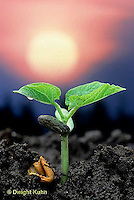 HS30-016c  Photosynthesis - bean seedling growing in sunlight