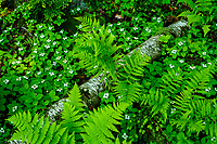 Bunchberries, Cornus canadensis, and Hay- Scented Ferns, Dennstaedtia punctilobula, In the Adirondack Mountains of New York State