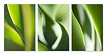 Close-up photographic triptych of a green agave plant.
