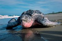 leatherback sea turtle, Dermochelys coriacea, nesting, Florida, USA, Atlantic Ocean
