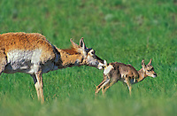 Pronghorn Antelope (Antilocapra americana) newborn fawn takes first step as mother finishes licking off birth residue. Spring, Yellowstone National Park, Wyoming, USA.