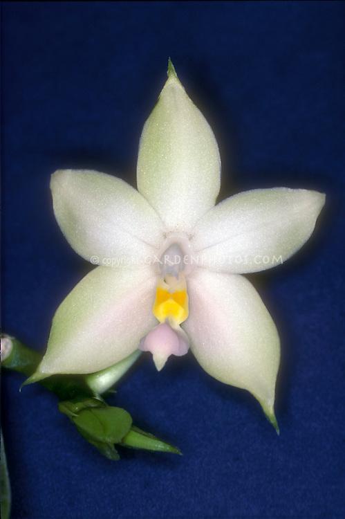Phalaenopsis bellina (alba form) aka Phalaenopsis violacea var borneo alba Orchid species