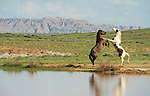 A two wild horses fight near a pond in Northwest Wyoming.