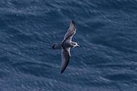 Slender-billed Prion in Flight