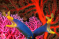 Pair of blue ribbon eels, Rhinomuraena quaesita, Indonesia underwater, marine, tropical , fish, digital composite