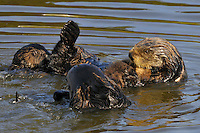 Sea Otter (Enhydra lutris) mom, with chin over sleeping pup, being investigated by two other curious sea otter.