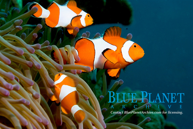 False clown aemomefish, amphiprion ocellaris. Raja Ampat, West Papua, Indonesia, Pacific Ocean