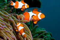 False clown aemomefish, amphiprion ocellaris. Raja Ampat, West Papua, Indonesia, Pacific Ocean