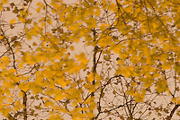 Fall Foliage - Detail of Yellow Leaves and Tree Branches Illuminated at Night with Overcast Sky in Background,  Stuyvesant Square Park, New York City, New York State, USA