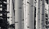Winter Aspens in Black & White - Arizona