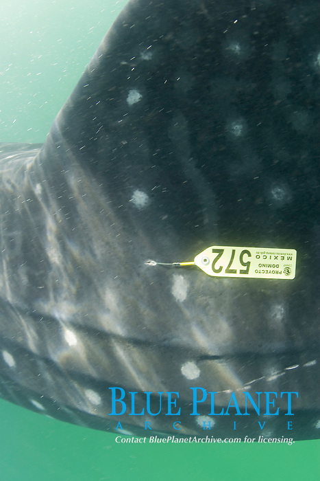 Whale shark (Rhincodon typus) with tag underwater, Holbox Mexico, Caribbean, Atlantic