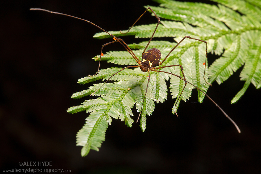 Harvestman {Opiliones} Osa Peninsula, Costa Rica. May.