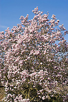 Saucer Magnolia x soulangeana tree in pink spring flowers against sunny blue sky