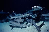 whitetip reef sharks, Triaenodon obesus, foraging reef, Cocos Island, Costa Rica, Pacific Ocean