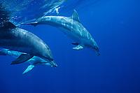 Indo-Pacific bottlenose dolphin, Tursiops aduncus, Haha-jima, Bonin Islands, Ogasawara, Tokyo, Japan, Pacific Ocean