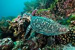 Suanggi Island, Banda Sea, Indonesia; a hawksbill turtle lifts its head while feeding on a sponge