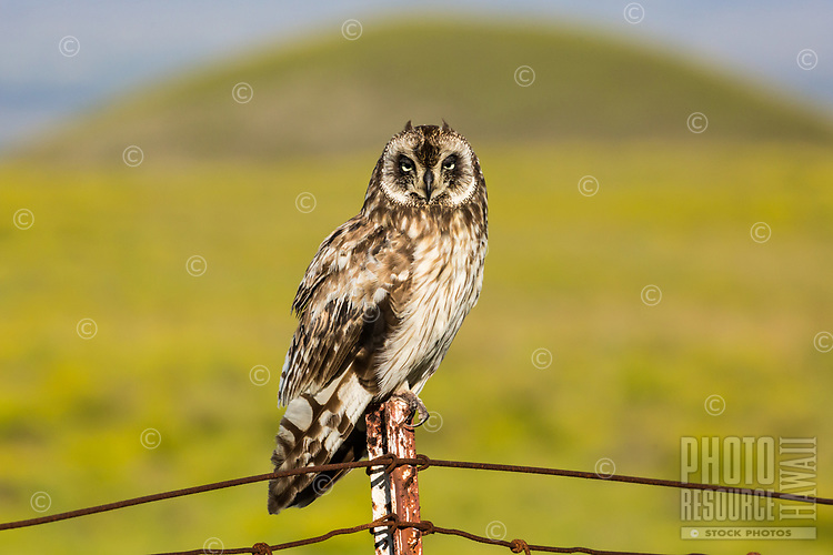 A watchful pueo (Hawaiian short-eared owl) sits on a fence post, with a pu'u (mound or hill) in the distance, Big Island of Hawai'i.