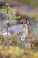 A curious short-tailed weasel stands up in the tall grasses. Alaska Range.