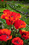 Italien, Suedtirol (Trentino - Alto Adige), Wengen: der Weiler Tolpei - Bauerngarten mit bluehendem Klatschmohn | Italy, South Tyrol (Trentino - Alto Adige), La Valle: hamlet Tolpei - kitchen garden with blooming red poppy