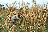 Kenya. Rift Valley Province. Matisi. A man cuts with a machete maize in a field. Harvesting season.© 2004 Didier Ruef