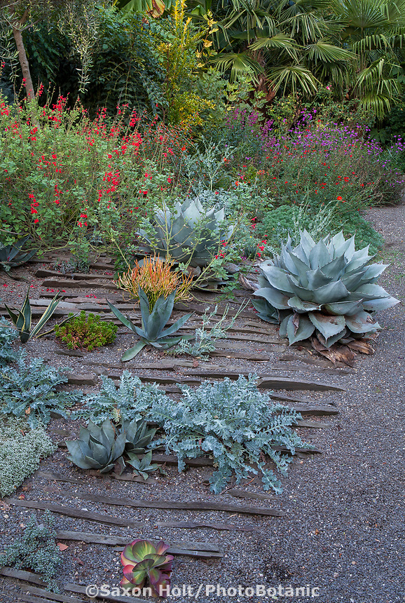 Summer-dry garden plantings in gravel, dry rock garden for good drainage with Horned poppy foliage, Agave, Salvia; Kuzma Garden