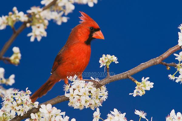 Northern Cardinal (Cardinalis cardinalis), New Braunfels, San Antonio, Hill Country, Central Texas, USA