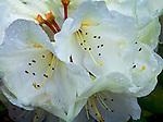 Vashon, WA<br /> Rhododendron 'Phyllis Korn' , white blossom detail
