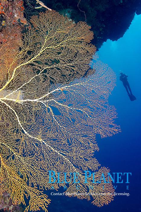 A diver drifting along the wall behind a sea fan, Kavin 2, Kavieng, Bismarck sea, Pacific ocean, Papua New Guinea, Asia